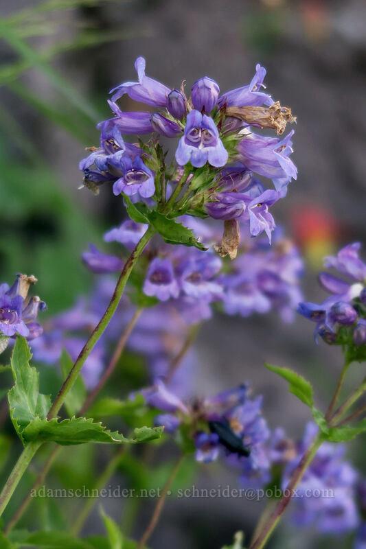 Cascade penstemon (Penstemon serrulatus) [Bald Mountain, Mt. Hood Wilderness, Oregon]