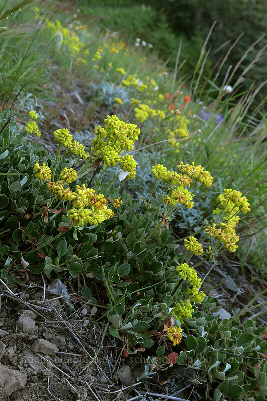 sulphur-flower buckwheat (Eriogonum umbellatum) [Bald Mountain, Mt. Hood Wilderness, Oregon]