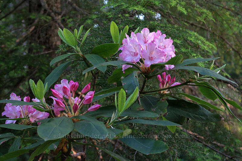 Pacific rhododendron (Rhododendron macrophyllum) [Top Spur Trail, Mt. Hood National Forest, Oregon]