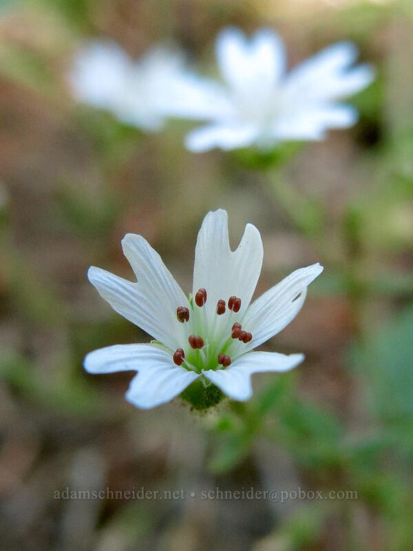sticky starwort (Pseudostellaria jamesiana) [Pilot Rock Trail, Soda Mountain Wilderness, Oregon]