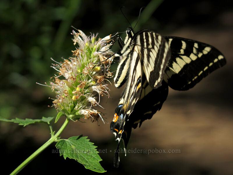 pale swallowtail butterfly on nettle-leaf horse-mint (Papilio eurymedon,Agastache urticifolia) [Pilot Rock Trail, Soda Mountain Wilderness, Oregon]