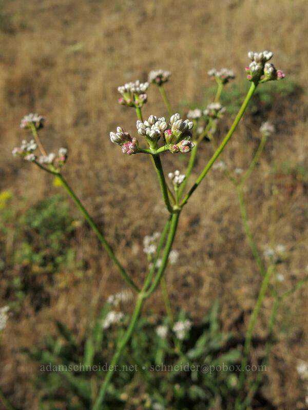tall buckwheat (Eriogonum elatum) [Pilot Rock Trail, Soda Mountain Wilderness, Oregon]
