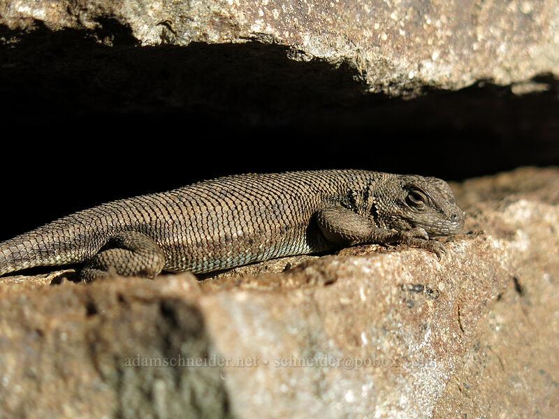 western fence lizard (Sceloporus occidentalis) [Pilot Rock Trail, Soda Mountain Wilderness, Oregon]