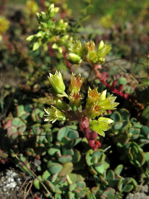 creamy stonecrop (Sedum oregonense) [Pilot Rock, Soda Mountain Wilderness, Oregon]