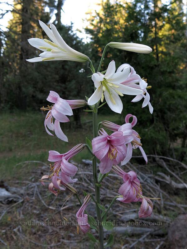purple-flowered Washington lily (Lilium washingtonianum ssp. purpurascens) [Pilot Rock Trail, Soda Mountain Wilderness, Oregon]