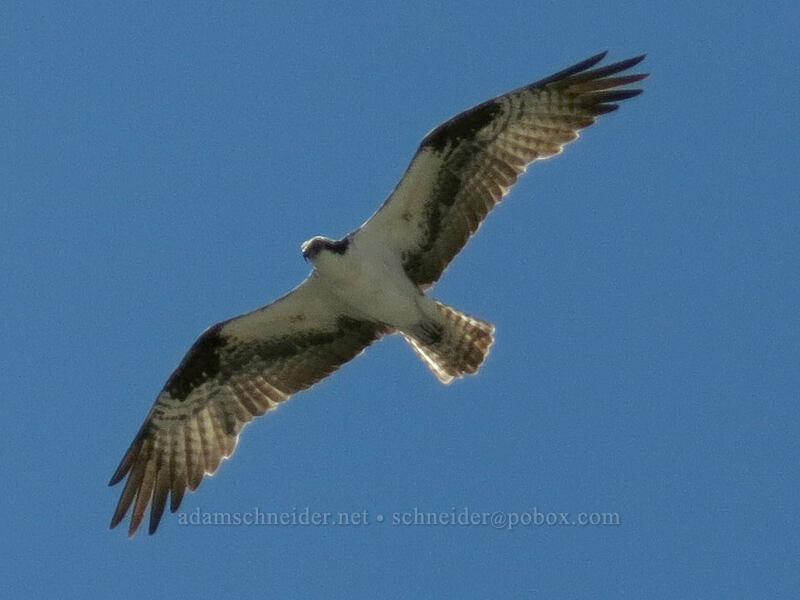 osprey (Pandion haliaetus) [Castle Dome, Castle Crags Wilderness, California]