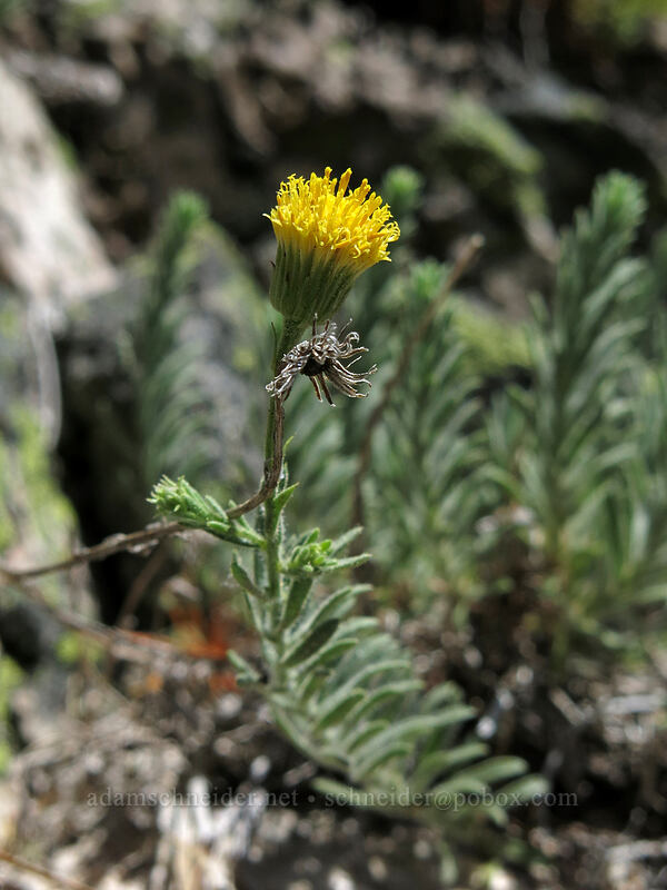 Klamath rock daisy (Erigeron petrophilus var. viscidulus) [Mt. Hubris, Castle Crags Wilderness, California]