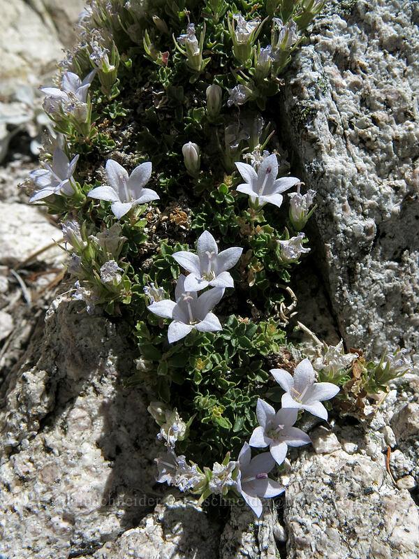 Castle Crags harebells (Campanula shetleri) [Mt. Hubris, Castle Crags Wilderness, California]