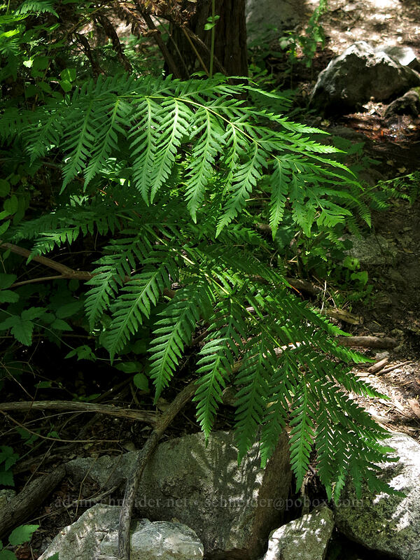 giant chain fern (Woodwardia fimbriata) [Indian Springs, Castle Crags Wilderness, California]