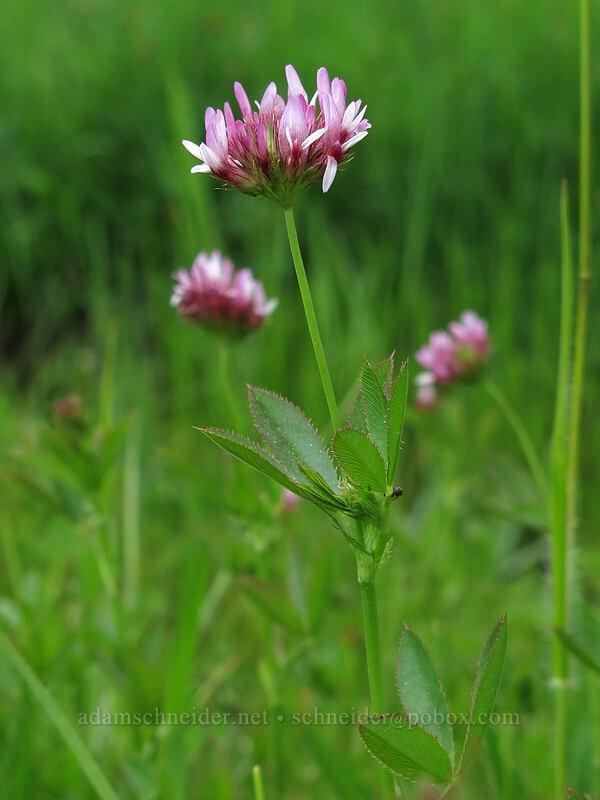 white-tip clover (Trifolium variegatum) [Horse Heaven Meadows, Shasta-Trinity National Forest, California]
