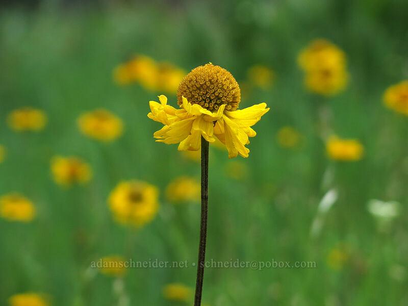 Bigelow's sneezeweed (Helenium bigelovii) [Horse Heaven Meadows, Shasta-Trinity National Forest, California]