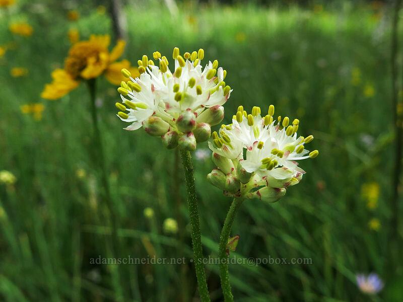 western false asphodel (Triantha occidentalis (Tofieldia glutinosa var. occidentalis)) [Horse Heaven Meadows, Shasta-Trinity National Forest, California]