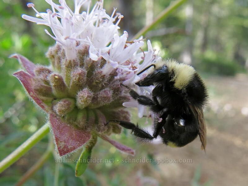 bumblebee on coyote-mint (Monardella odoratissima) [Gumboot Trail, Shasta-Trinity National Forest, California]