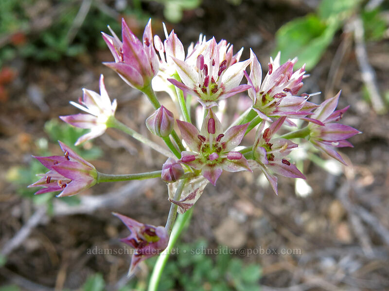 Sierra onion (Allium campanulatum) [Gumboot Trail, Shasta-Trinity National Forest, California]