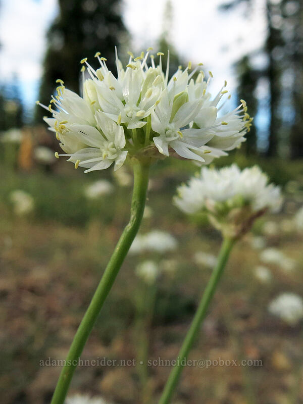 narrow-leaf onion (Allium amplectens) [Upper Gumboot Lake, Shasta-Trinity National Forest, California]