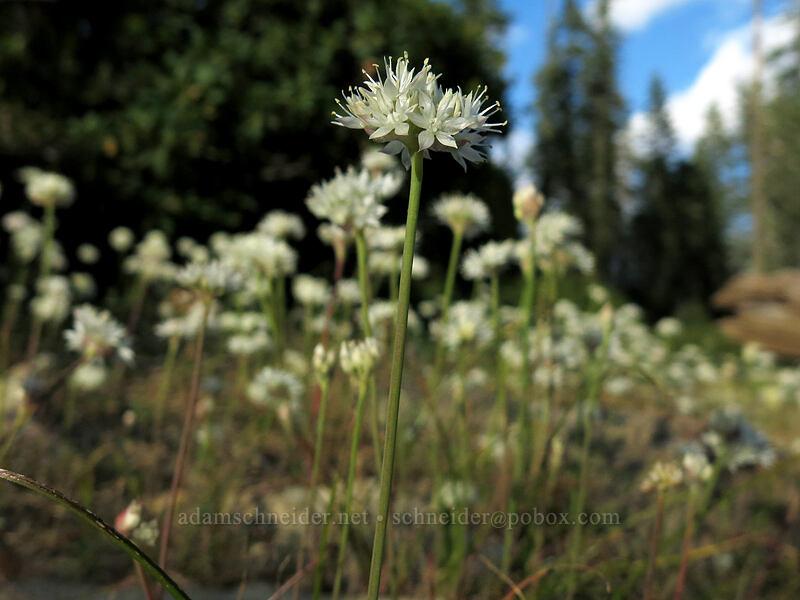 narrow-leaf onion (Allium amplectens) [Upper Gumboot Lake, Shasta-Trinity National Forest, California]