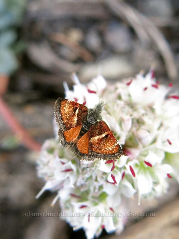 Gyros moth on pussypaws (Gyros muirii, Calyptridium umbellatum (Cistanthe umbellata)) [Clear Creek Trail, Mount Shasta Wilderness, California]