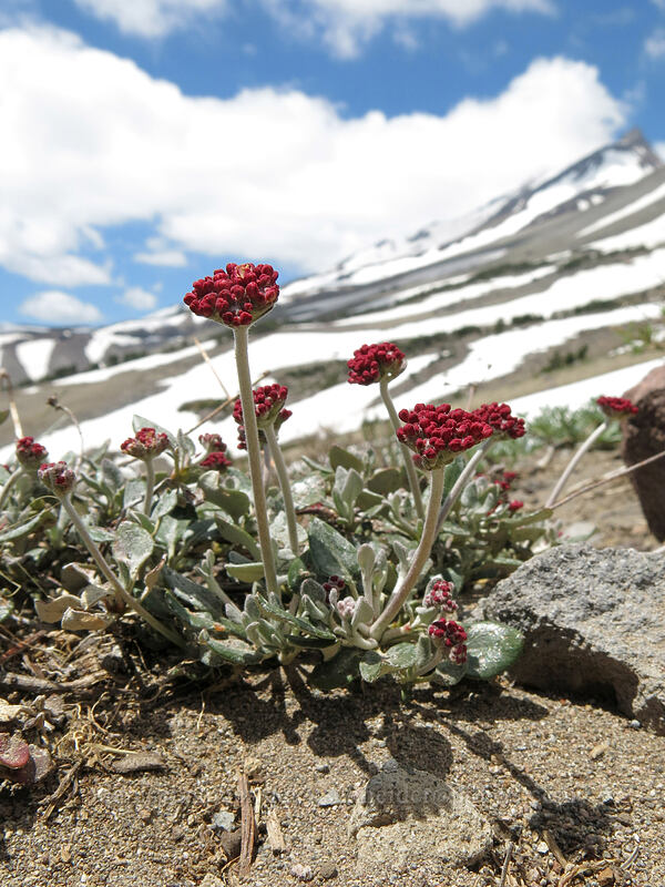 buckwheat (Eriogonum sp.) [Clear Creek Trail, Mount Shasta Wilderness, California]
