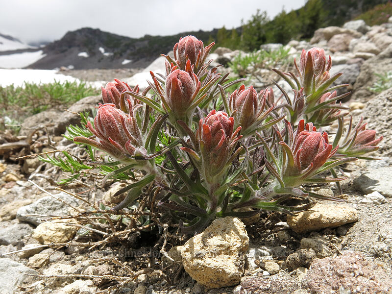 cobwebby paintbrush (Castilleja arachnoidea) [Clear Creek Trail, Mount Shasta Wilderness, California]