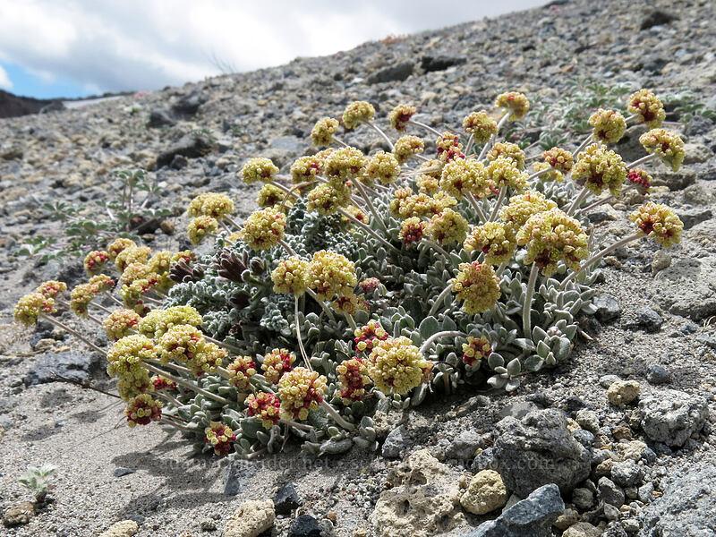 cushion buckwheat (Eriogonum ovalifolium) [Mud Creek Canyon rim, Mount Shasta Wilderness, California]
