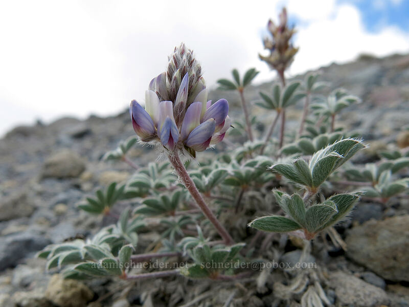 dwarf lupine (Lupinus lepidus var. lobbii) [Mud Creek Canyon rim, Mount Shasta Wilderness, California]