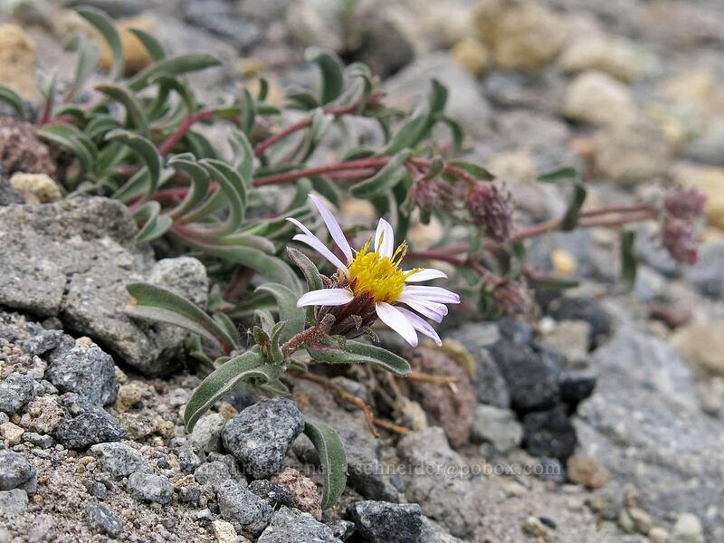 alpine aster [Mud Creek Canyon rim, Mount Shasta Wilderness, California]
