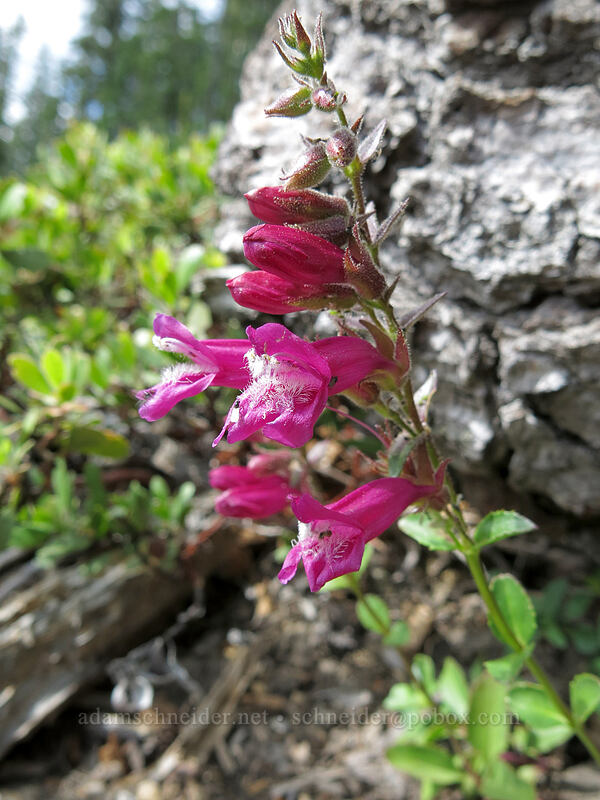 mountain pride (Newberry's penstemon) (Penstemon newberryi) [Clear Creek Trail, Mount Shasta Wilderness, California]