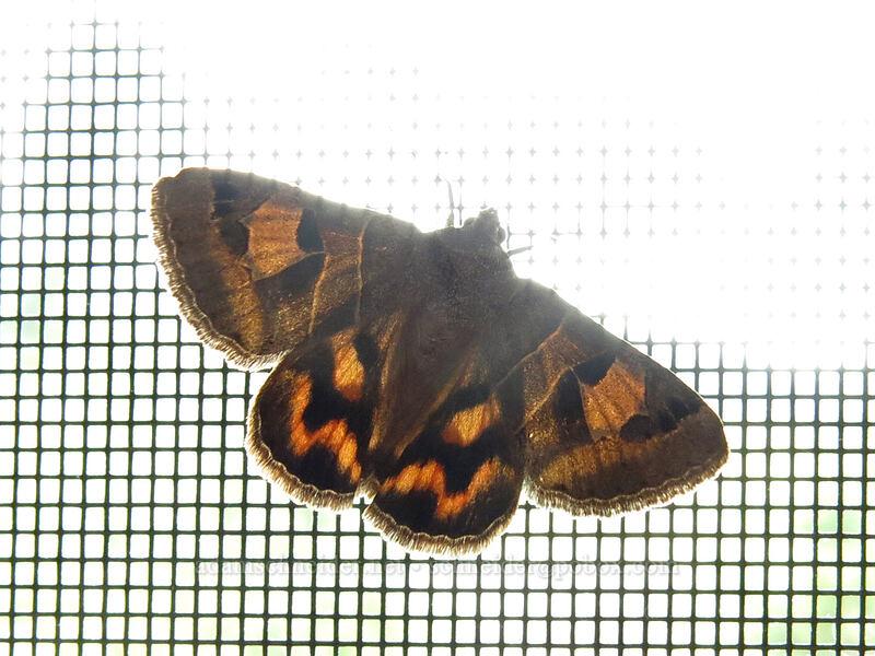 arches moth (Drasteria edwardsii) [Big Springs Road, Siskiyou County, California]