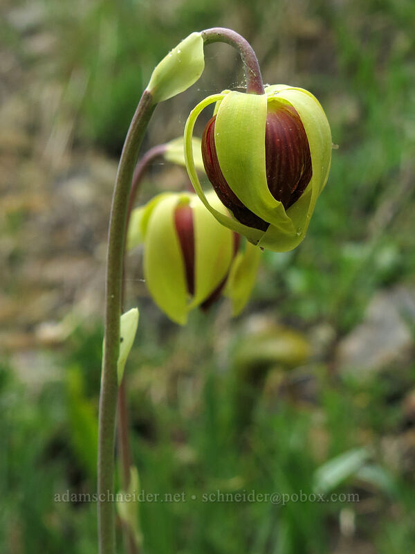 pitcher plant flowers (Darlingtonia californica) [Forest Road 17, Shasta-Trinity National Forest, California]