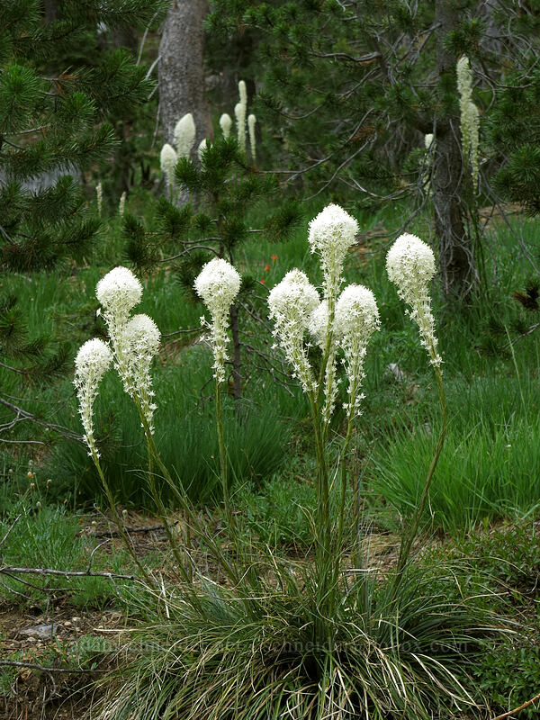 beargrass (Xerophyllum tenax) [Forest Road 17, Shasta-Trinity National Forest, California]