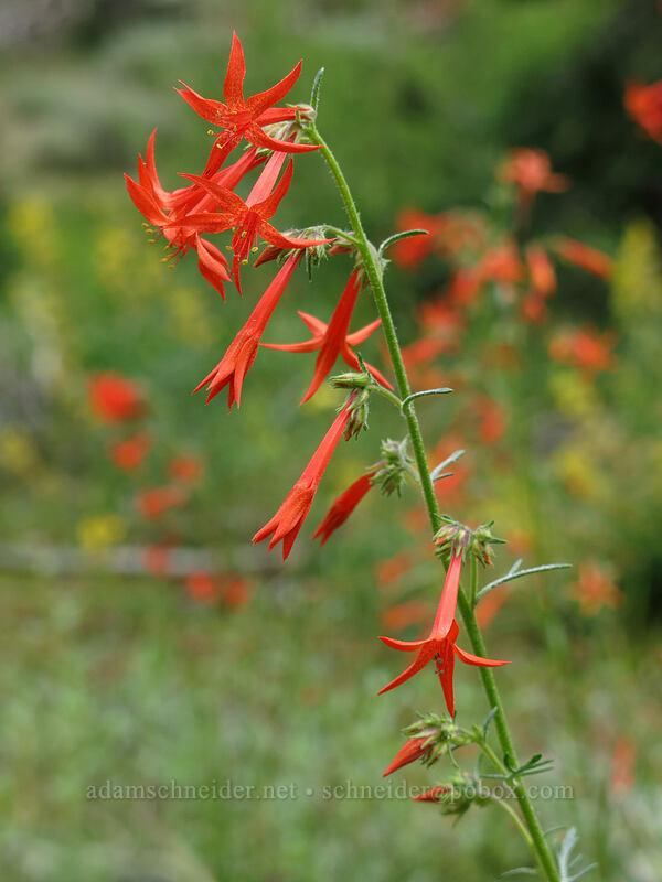 scarlet gilia (Ipomopsis aggregata) [Deadfall Meadows, Shasta-Trinity National Forest, California]