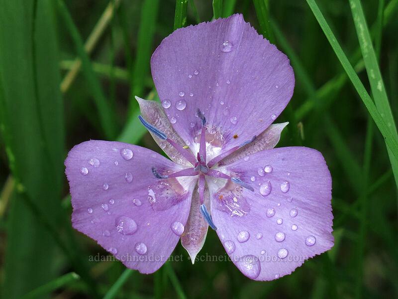 naked mariposa lily (Calochortus nudus) [Deadfall Meadows, Shasta-Trinity National Forest, California]