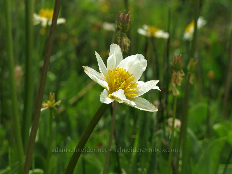 white marsh-marigold (Caltha leptosepala) [Deadfall Meadows, Shasta-Trinity National Forest, California]