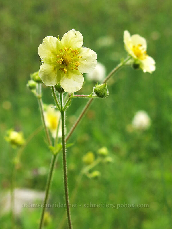 cinquefoil (Drymocallis sp. (Potentilla sp.)) [Deadfall Meadows, Shasta-Trinity National Forest, California]