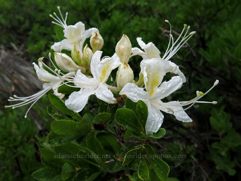 western azalea (Rhododendron occidentale) [Forest Road 17, Shasta-Trinity National Forest, California]
