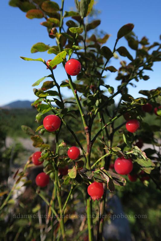 red huckleberries (Vaccinium parvifolium) [Ape Canyon Trail, Mt. St. Helens National Volcanic Monument, Washington]