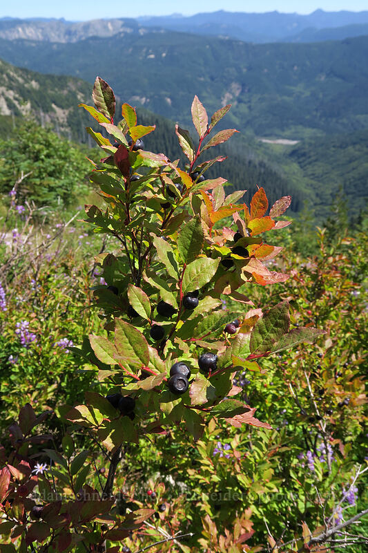 huckleberries (Vaccinium membranaceum) [Ape Canyon Trail, Mt. St. Helens National Volcanic Monument, Washington]