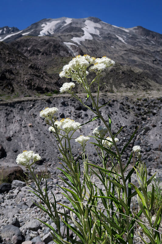 pearly everlasting (Anaphalis margaritacea) [Ape Canyon Trail, Mt. St. Helens National Volcanic Monument, Washington]