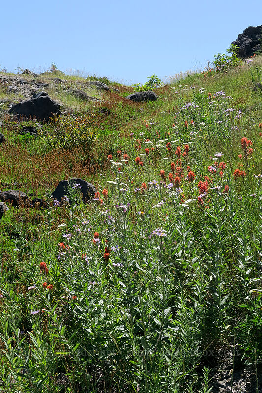 wildflowers [Ape Canyon Trail, Mt. St. Helens National Volcanic Monument, Washington]