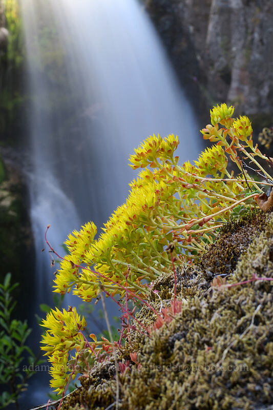 stonecrop & a waterfall (Sedum sp.) [Lava Canyon Trail, Mt. St. Helens National Volcanic Monument, Washington]
