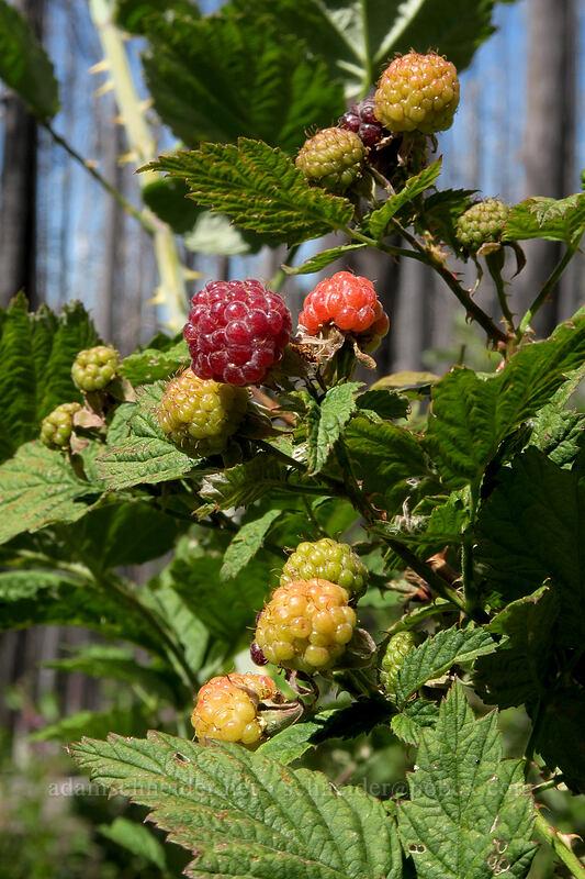 western raspberries (Rubus leucodermis) [Vista Ridge Trail, Mt. Hood Wilderness, Oregon]