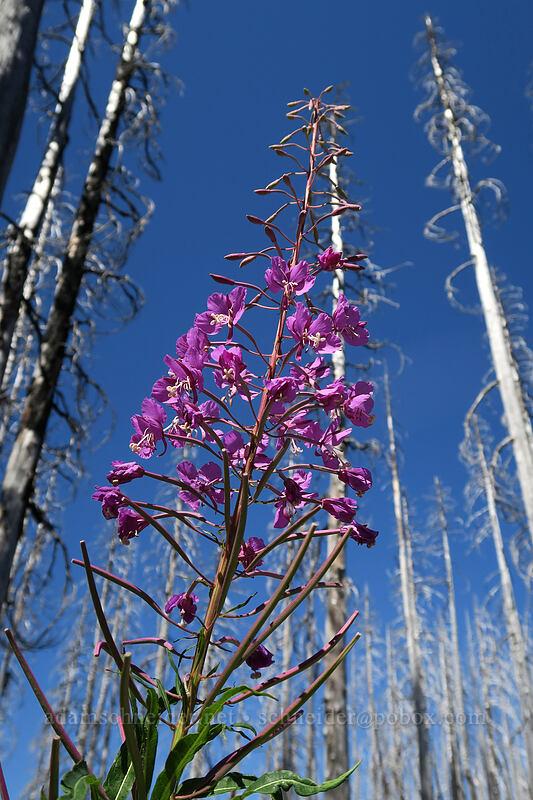 fireweed (Chamerion angustifolium (Epilobium angustifolium)) [Vista Ridge Trail, Mt. Hood Wilderness, Oregon]
