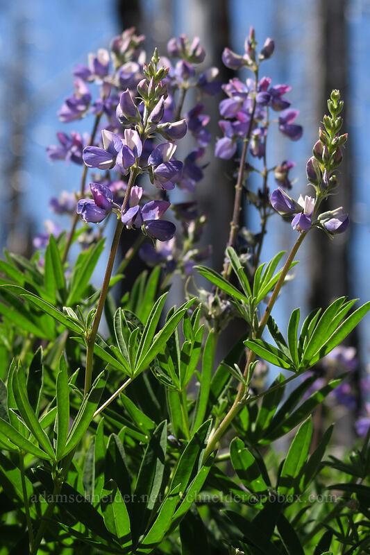 lupines (Lupinus latifolius) [Vista Ridge Trail, Mt. Hood Wilderness, Oregon]