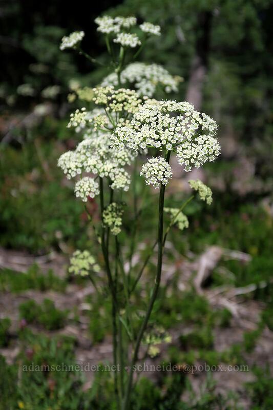 Gairdner's yampah (Perideridia gairdneri) [Vista Ridge Trail, Mt. Hood Wilderness, Oregon]