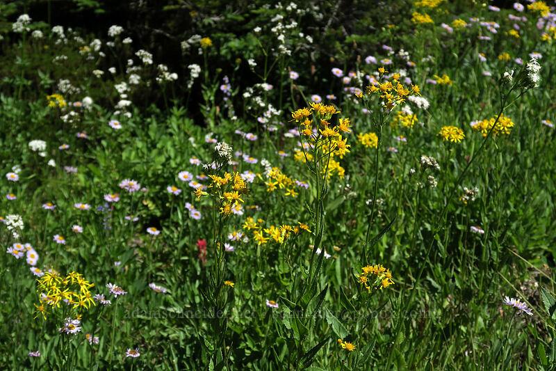groundsel, fleabane, & valerian (Senecio triangularis, Erigeron glacialis, Valeriana sitchensis) [Timberline Trail, Mt. Hood Wilderness, Oregon]
