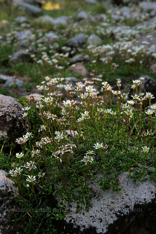 Tolmie's saxifrage (Saxifraga tolmiei) [Timberline Trail, Mt. Hood Wilderness, Oregon]