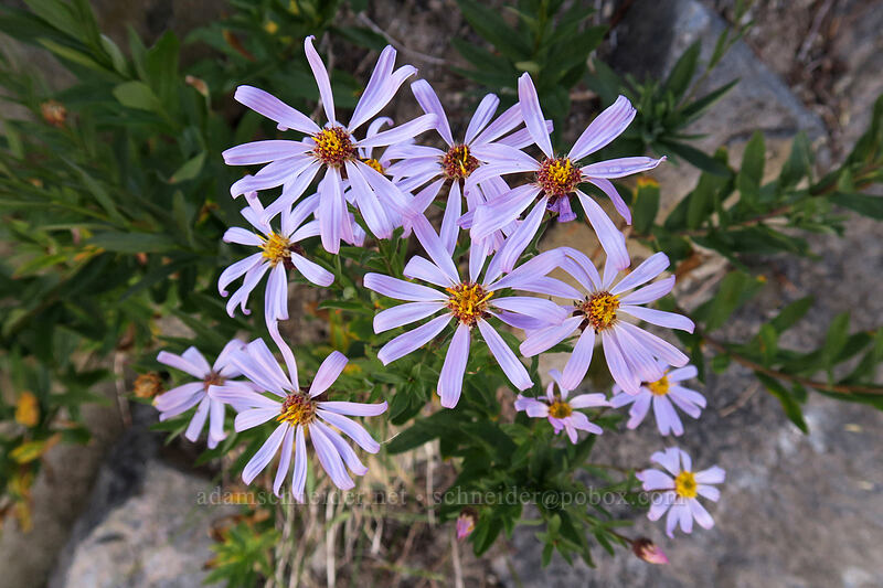 Cascade asters (Eucephalus ledophyllus) [Elk Cove, Mt. Hood Wilderness, Oregon]