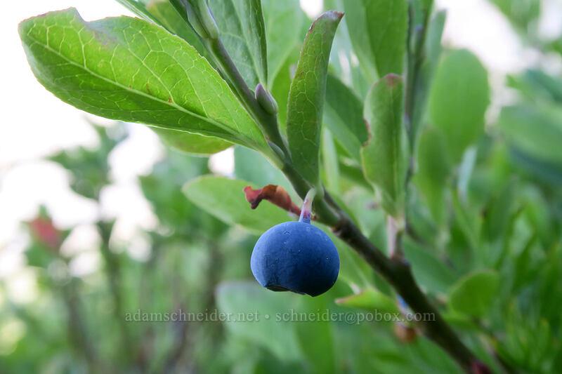 Cascade bilberry (blue-leaf huckleberry) (Vaccinium deliciosum) [Elk Cove, Mt. Hood Wilderness, Oregon]