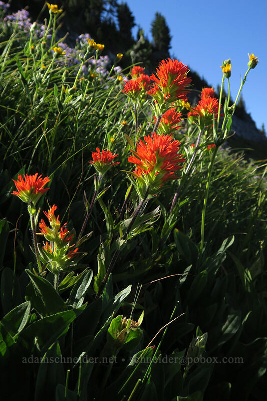paintbrush (Castilleja sp.) [Elk Cove, Mt. Hood Wilderness, Oregon]