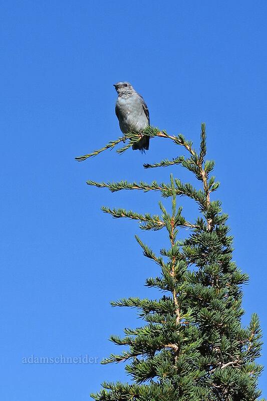 mountain bluebird on a mountain hemlock (Sialia currucoides, Tsuga mertensiana) [Elk Cove, Mt. Hood Wilderness, Oregon]